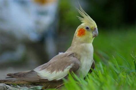 CACATÚA NINFA o CAROLINA  Todo sobre esta ave exótica
