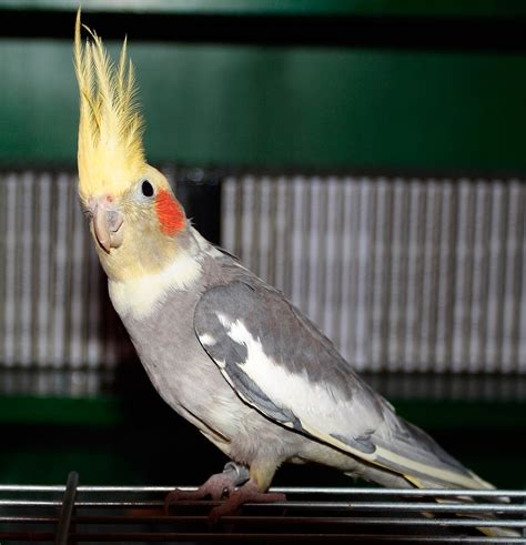 cacatúa ninfa, todo lo que debes saber sobre esta ave.