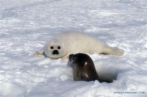 Cachorro de foca de groenlandia en Quebec, Canadá ...
