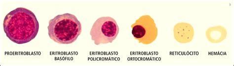 Caderno de Farmácia: Eritropoiese