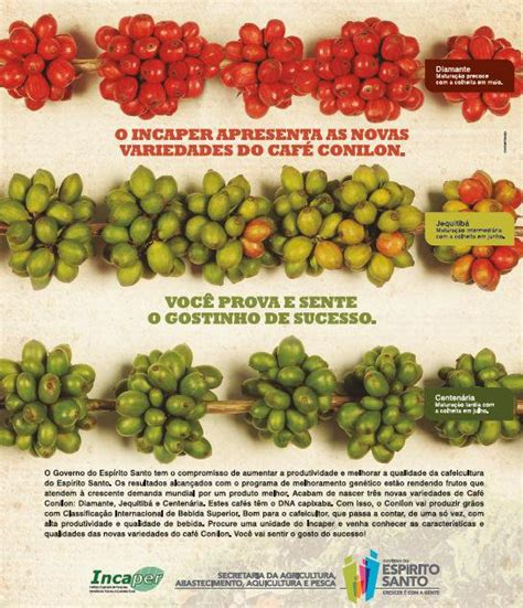 Café Conilon em novas variedades   Mídia e Mercado