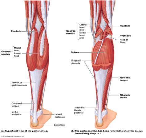 Calf Muscle Tightness, Achilles Tendon Length and Lower ...