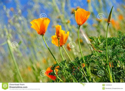 California Poppy And Wild Grasses Stock Images - Image ...