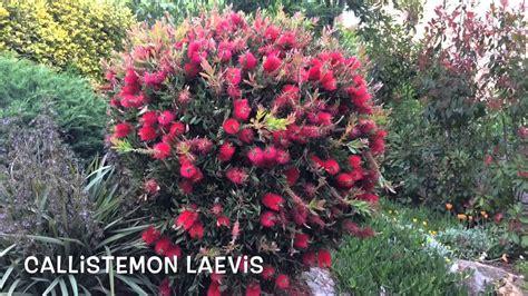 Callistemon Laevis. Garden Center online Costa Brava ...
