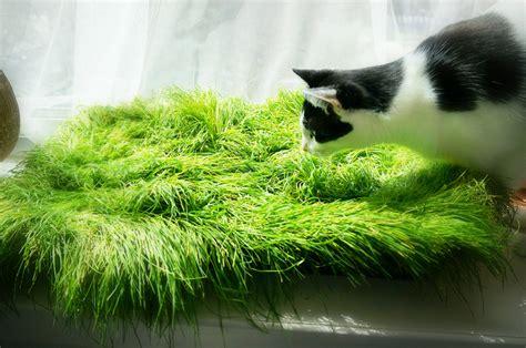 Cama de hierba para nuestros gatos: una idea genial   La ...