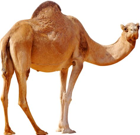 Camel PNG image, free camel png pictures