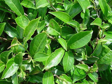 Camellia sinensis - Wikipedia