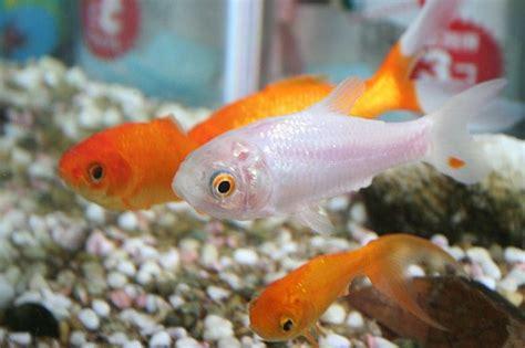 Can You Eat A Goldfish? – Food Republic