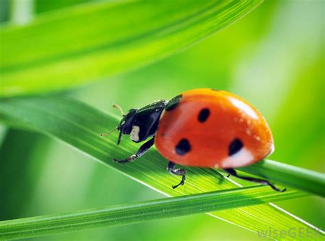Can You Really Mail Order Ladybugs?  with picture