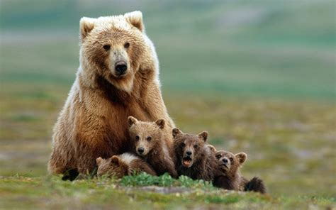 Canada to protect bears and ban logging in the beautiful ...