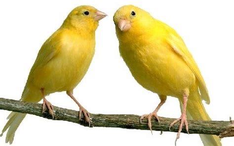 Canarios   Clases, tipos, especies, alimentación, mascotas
