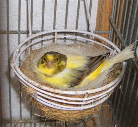 Canarios: Cuidados, Alimentacion, Cria, Mantenimiento ...