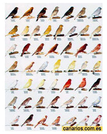 Canarios. Diferencias entre sus clases, colores ...