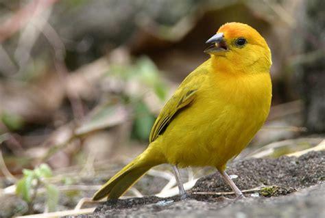 Canarios   Especies   Aves   Animales   Domésticos