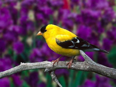 Canary – The Utility Bird Turned Pet | Fun Animals Wiki ...