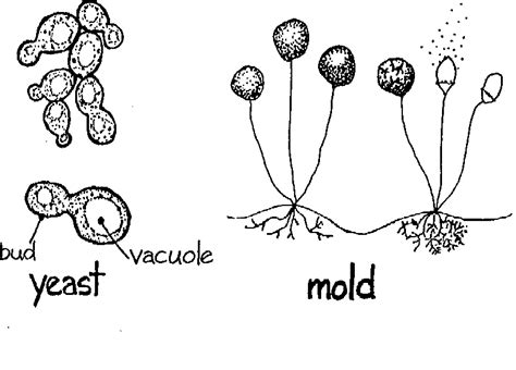 Candida Albicans Medical Definition – Yeast Infection and ...