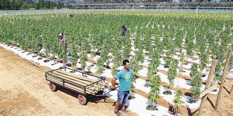Cannabis oil en colombia todo un negocio