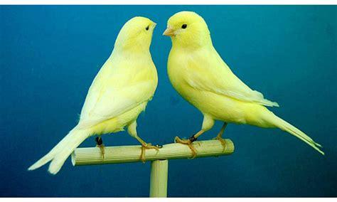 Canto de canarios genera salud emocional positiva en niños ...