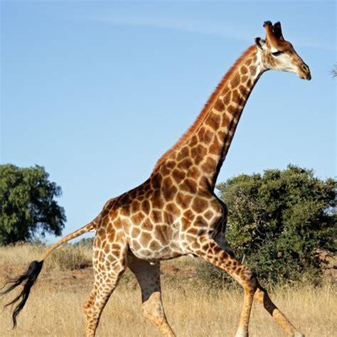 Características da Girafa, Descrição e Fotos | Portal dos ...