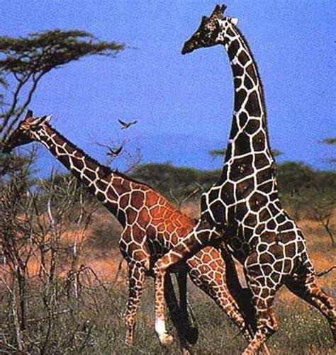 Características de las jirafas