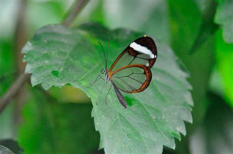 Características de las mariposas de cristal :: Imágenes y ...