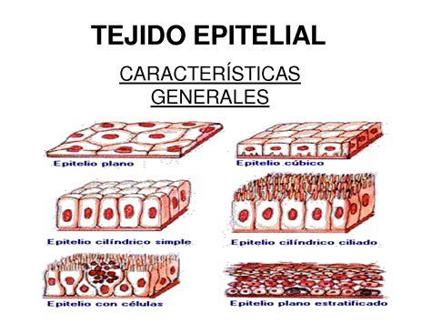 Características tejido epitelial
