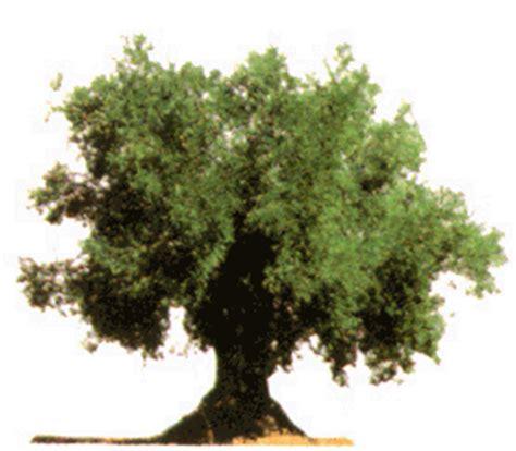 Caractersticas del olivo