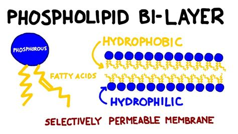 Carbohydrates and Lipids: Key Biomolecules I - YouTube