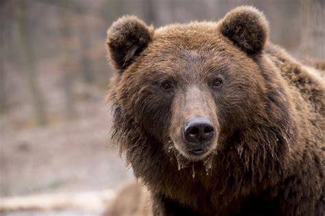 Carnivores more seriously threatened by roads than ...