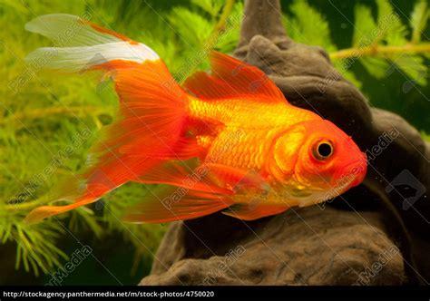 carpa de peces de colores (cyprinidae) - Stockphoto ...