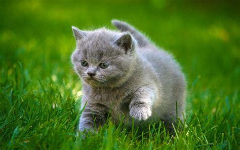 Cats Grey Kittens Fluffy Fat Grass Animals cat kitten baby ...