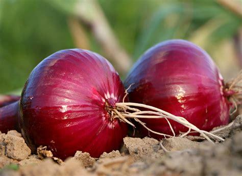 Cebolla, propiedades y beneficios de las cebollas ...