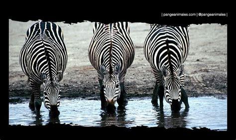 Cebra: Características, Qué come, hábitat, color y... ¡MÁS ...