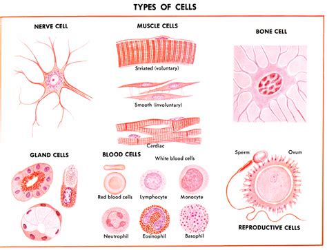 Cell Biology – Cells, Tissues, Organs & Systems ...