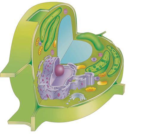 Célula eucariota vegetal - ThingLink