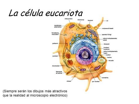 Celula Eucariota | www.pixshark.com   Images Galleries ...