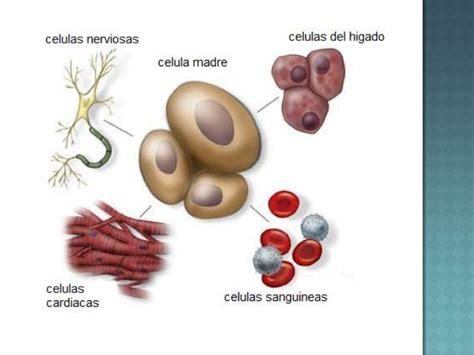 Celula madre