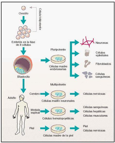 Células Madre Multipotentes :Estas solo pueden regenerara ...