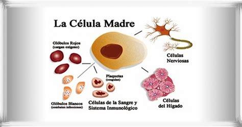 Células Madre para Regenerar los Músculos   Noticias ...