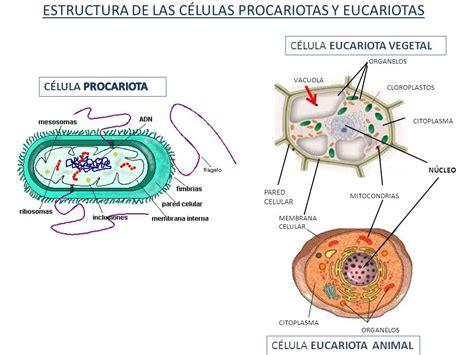 CÉLULAS PROCARIOTAS CÉLULAS EUCARIOTAS PARAMECIA (150 ...