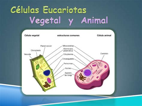 Celulas procariotas y eucariotas pdf
