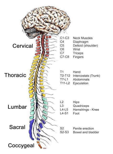 Central Nervous System Brain Function | www.pixshark.com ...