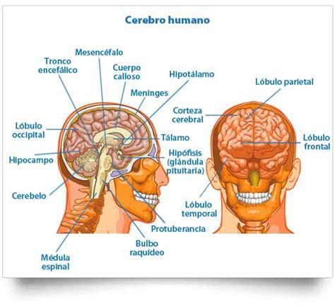 Cerebro humano: estructura y funciones de la máquina ...