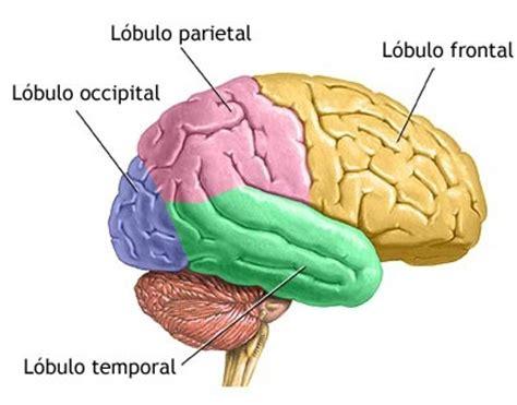 Cérebro Humano - Partes e Funções | Anatomia