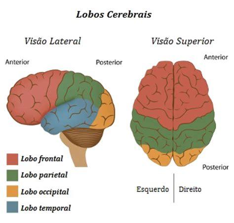 Cérebro Humano. Principais características do cérebro ...