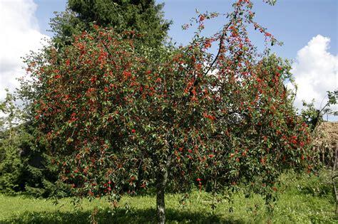 Cerisier : planter et cultiver – Ooreka