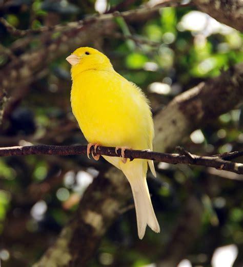 Characteristics Bird s Canaries   Various Bird Species