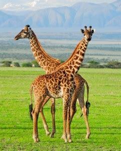 Chicos » ¿Cuánto comen las jirafas?