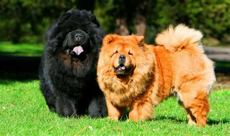 Chow Chow Facts   Top Ten List   Most Interesting