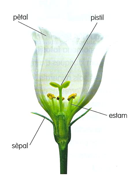 ciclemitja11 12: Estudiem les parts de la flor